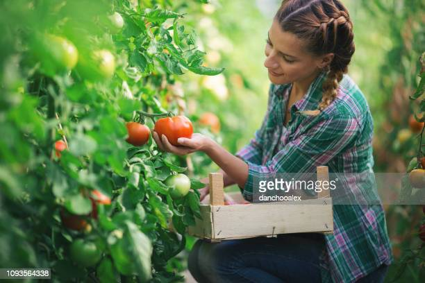 Two young women working in greenhouse with tomato