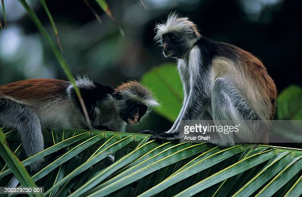 Two Zanzibar red colobuses (Procolobus badius kirkii) sitting on palm leaf, Zanzibar