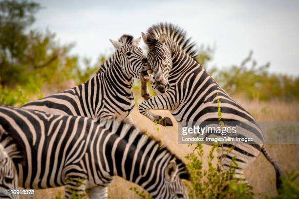 two zebra, equus quagga, stand on their hind legs rearing and fight, biting showing teeth - animale da safari foto e immagini stock