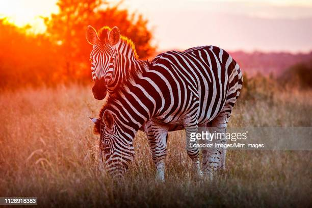 two zebra, equus quagga, standing in dry brown grass, backlit at sunset, one looking up one grazing. - ゼブラ模様 ストックフォトと画像