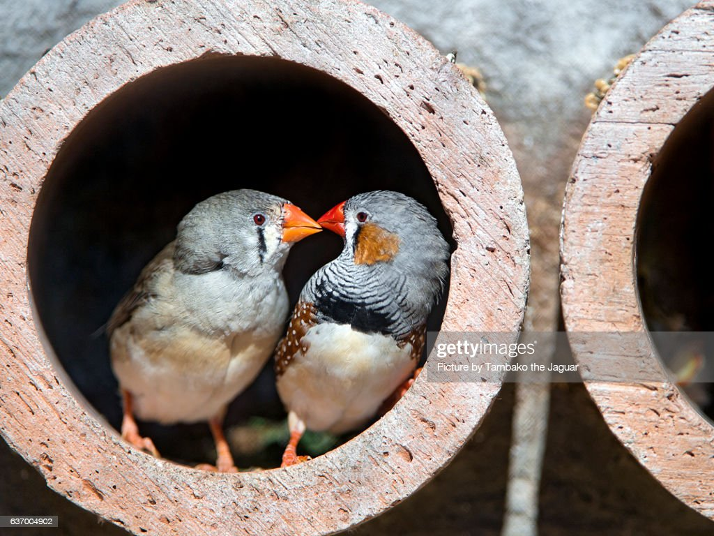 Two zebra finches in a tube! : Stock Photo