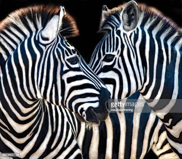 Two zebra, Mpumalanga, South Africa