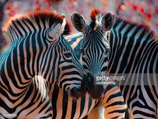 two zebra nuzzling, mpumalanga, south africa - zebra stock pictures, royalty-free photos & images