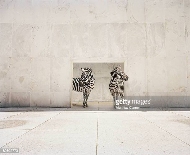 two zebras at doorway of large white building - two animals stock pictures, royalty-free photos & images