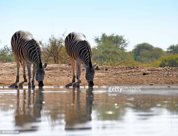 Two zebras drinking at the waterhole  in the Madikwe Game Reserve in South Africa
