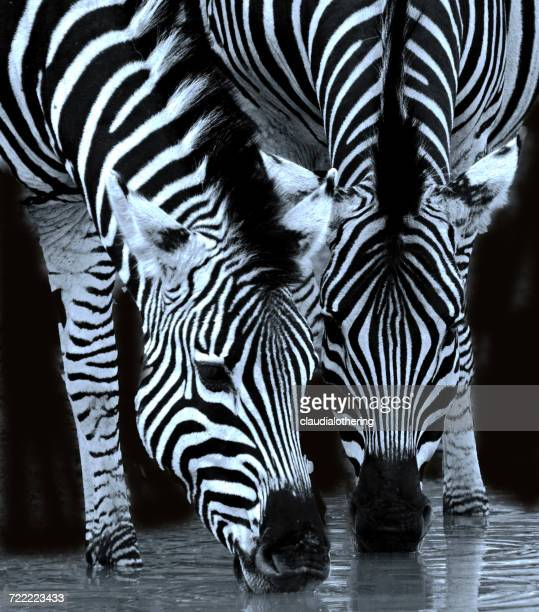 Two zebras drinking at waterhole, Limpopo, South Africa