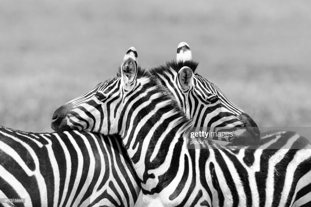 Two Zebras embracing in Africa : Stock Photo