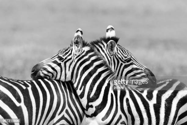 two zebras embracing in africa - animal foto e immagini stock