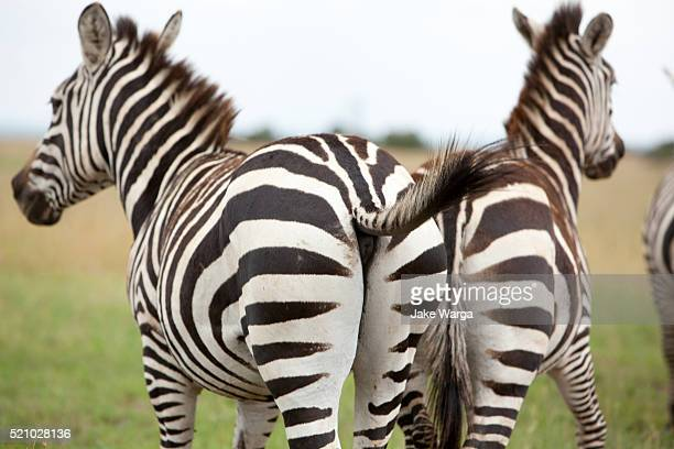two zebras in kenya - jake warga stock photos and pictures