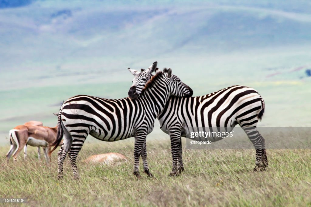 Two zebras in love and some Thomsons gazelle in the back : Stock-Foto