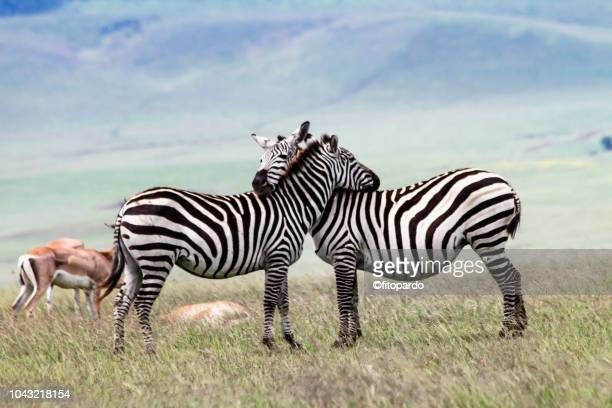 two zebras in love and some thomsons gazelle in the back - wilde tiere stock-fotos und bilder