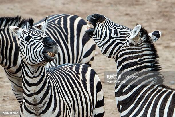 Two zebras interacting