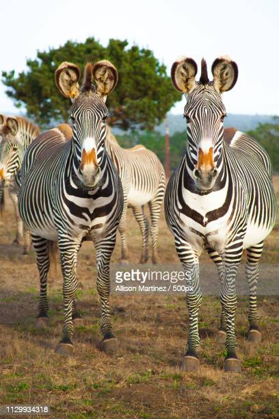 Two zebras looking at camera