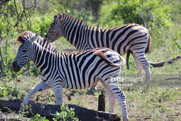 Two Zebras (Equus quagga burchellii) male and female
