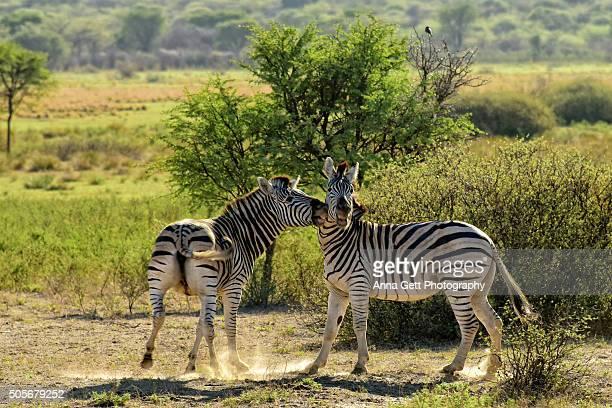 Two Zebras playing, Khama Rhino Sanctuary