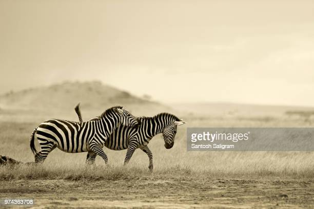 two zebras running wild, amboseli national park, kajiado county, kenya - sepia stock pictures, royalty-free photos & images