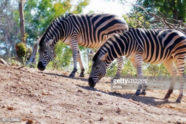 Two zebras searching for food  in the Madikwe Game Reserve in South Africa