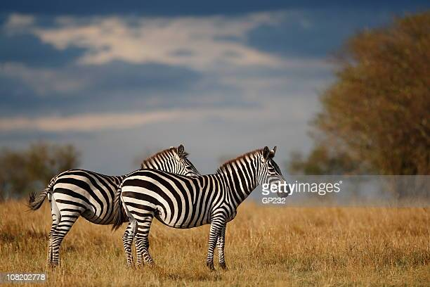 Two Zebras Standing in African Plain Reserve