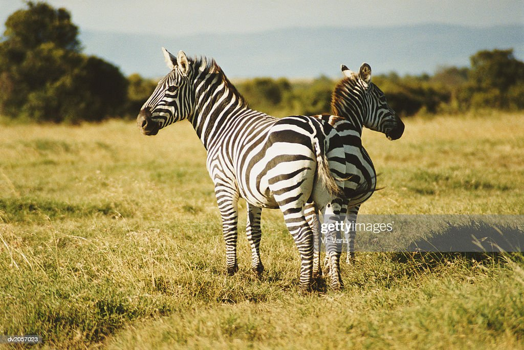 Two Zebras Standing in Grassland : Stock Photo