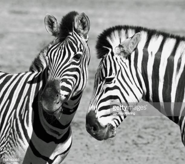 Two zebras, Western Cape, South Africa