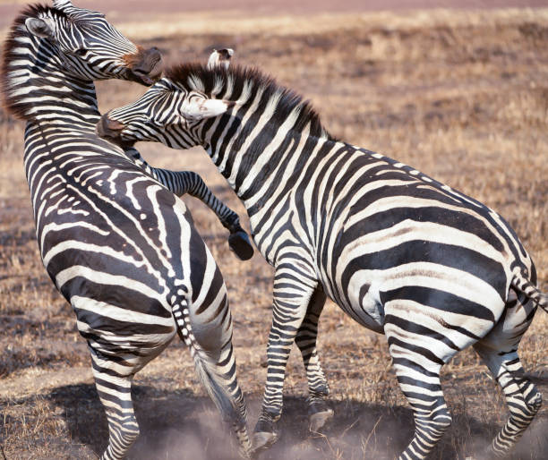 Two zebras,Serengeti National Park,Tanzania