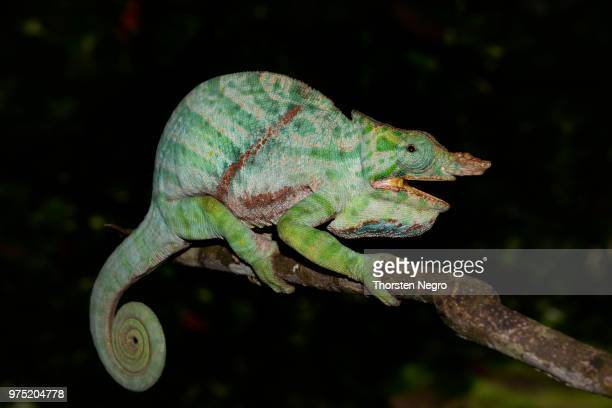 two-banded chameleon (furcifer balteatus), rainforests of ranomafana national park, south-east of madagascar - ranomafana national park stock photos and pictures