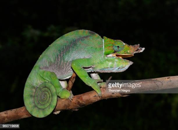 two-banded or rainforest chameleon (furcifer balteatus), rainforest, ranomafana, eastern madagascar - ranomafana national park stock photos and pictures