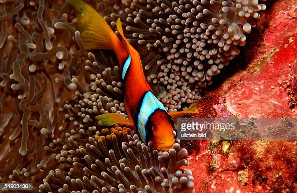 Twobar anemone fishes with eggs Amphiprion bicinctus Djibouti Djibuti Africa Afar Triangle Gulf of Aden Gulf of Tadjourah
