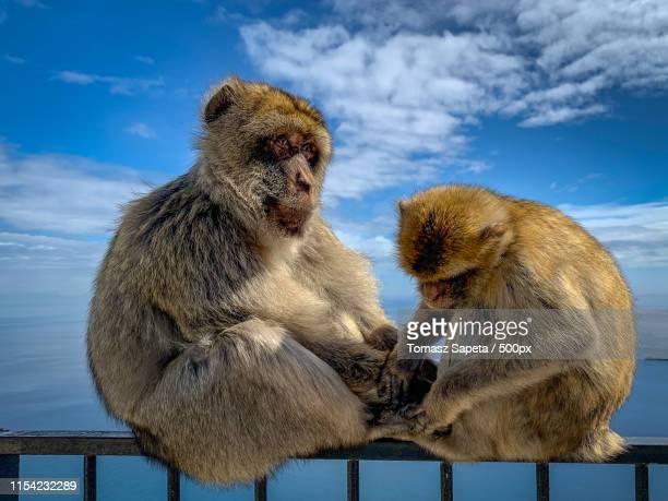 twobarbary macaques sitting on coastal railing - バーバリーマカク ストックフォトと画像