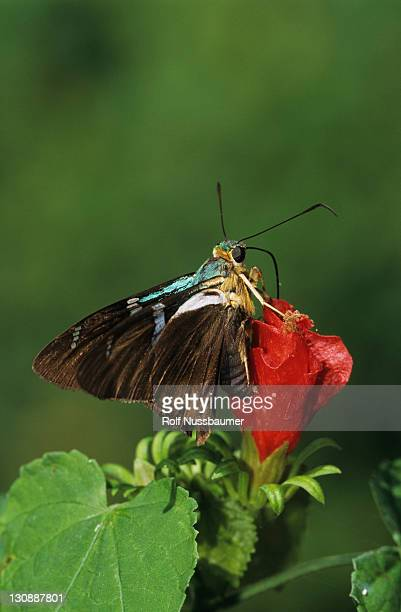 two-barred flasher (astraptes fulgerator), adult on turk's cap (malvaviscus drummondii), cameron county, rio grande valley, south texas, usa - flasher stock pictures, royalty-free photos & images