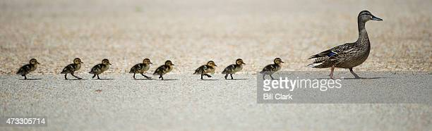 Twoday old ducklings walk around Lower Senate Park on the US Capitol grounds on Thursday May 14 2015 The ten ducklings swam in the pool and walked...