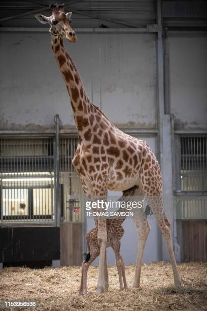 A twoday old giraffe calf suckles from his mother in their enclosure on July 5 at the Paris Zoological Park in Vincennes outside Paris