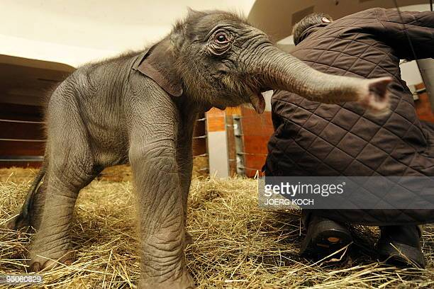 A twodayold baby elephant named 'Jamuna Toni' investigates her enclosure at Hellabrunn Zoo in the southern German city of Munich on December 23 2009...