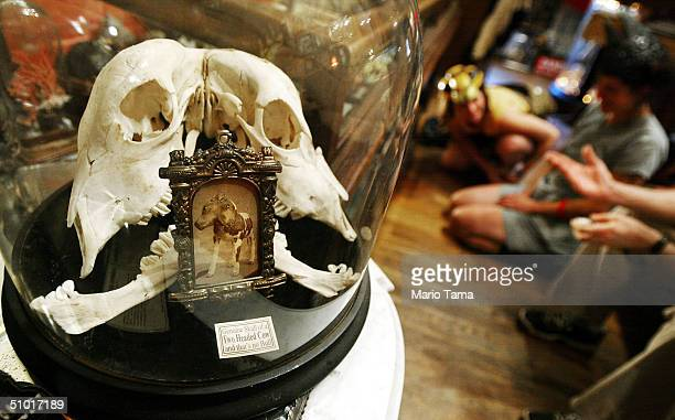 A twoheaded cow skull is displayed while visitors view live insects on display in the Freakatorium curiosities museum July 1 2004 in New York City...