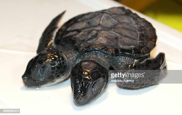 A twoheaded sea turtle is seen at Canakkale Onsekiz Mart University in Canakkale Turkey on December 03 2015 The twoheaded turtle which has died soon...
