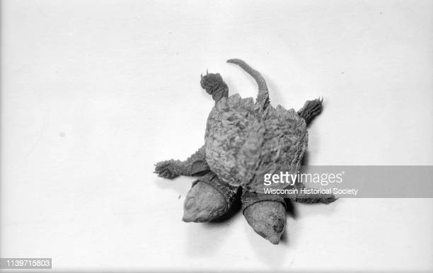 Twoheaded snapping turtle found near the Yahara River outside of Stoughton by Leo Halverson Madison Wisconsin November 2 1931