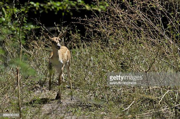 A twomonth blackbuck fawn an ungulate species of antelope is seen at the National Zoo of El Salvador in San Salvador on March 16 2015 The fawn is the...