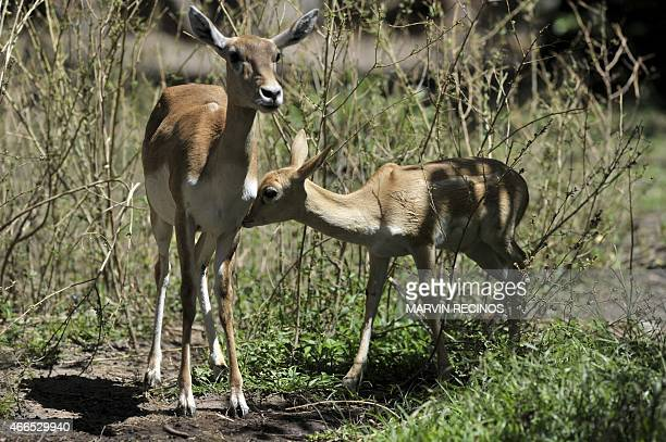 A twomonth blackbuck fawn and its mother an ungulate species of antelope are seen at the National Zoo of El Salvador in San Salvador on March 16 2015...