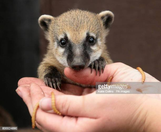 A twomonthold baby Coati a member of the racoon family is fed worms at Battersea Park Children's Zoo