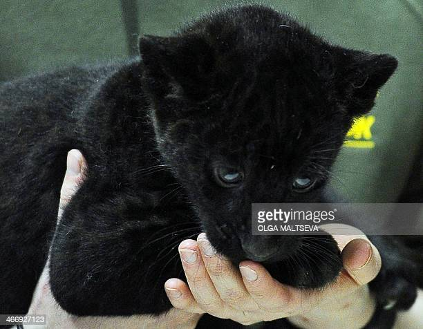 A twomonthold Black Panther cub looks on during a presentation in a zoo in St Petersburg on February 5 2014 AFP PHOTO / OLGA MALTSEVA