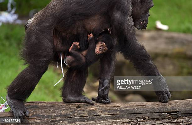 Twomonthold chimpanzee Liwali is carried by her mother Lisa while inspecting Christmas giftwrapped food treats and other tasty decorations left...