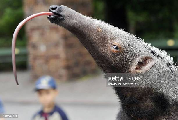 "Two-month-old giant anteater sticks out its tonuge as he is presented to the press at Berlin's Zoologischer Garten Zoo, on July 8, 2008. ""Adolpho""..."