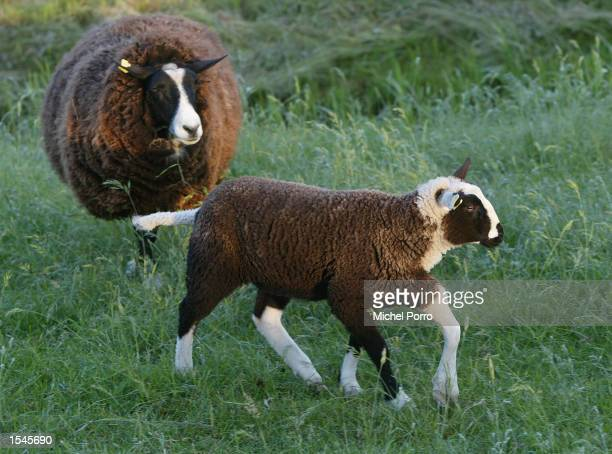 A twomonthold sheep born with five legs walks around with her mother May 30 2002 in Lage Zwaluwe Netherlands Farmer Jos Hop owner of the sheep said...
