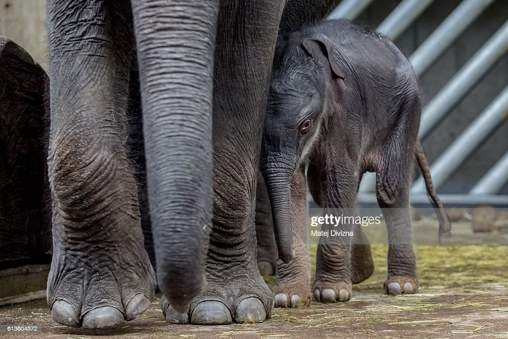A two-old-day male baby Asian elephant stands next to his mother Tamara in their enclosure at Prague Zoo on October 9, 2016 in Prague, Czech Republic. Tamara delivered the calf on late October 7 and according to zoo, it is the third birth in Prague Zoo's history.