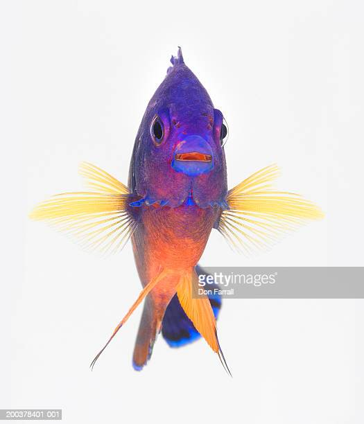 Two-spined angelfish (Centropyge bispinosa)