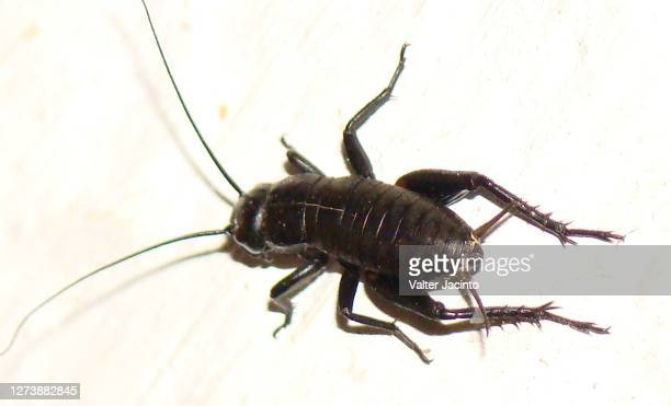 two-spotted cricket (gryllus bimaculatus), male - cricket stock pictures, royalty-free photos & images