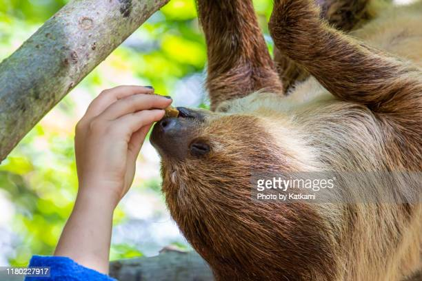 two-toed sloth being handfed while hanging on branch - zoo keeper stock pictures, royalty-free photos & images
