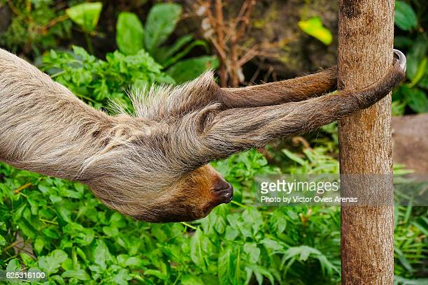Two-toed sloth (Choloepus didactylus) from South America jumping from tree to tree
