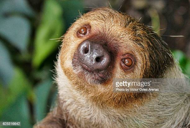 Two-toed sloth (Choloepus didactylus) from South America looking at te camera