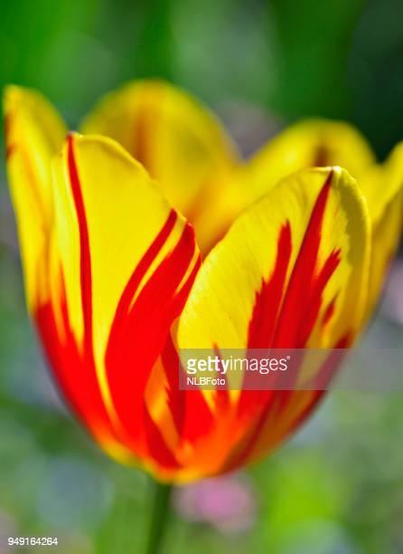 Two-toned flower, garden tulip (Tulipa gesneriana, hyb.), Alpine Upland, Bavaria, Germany